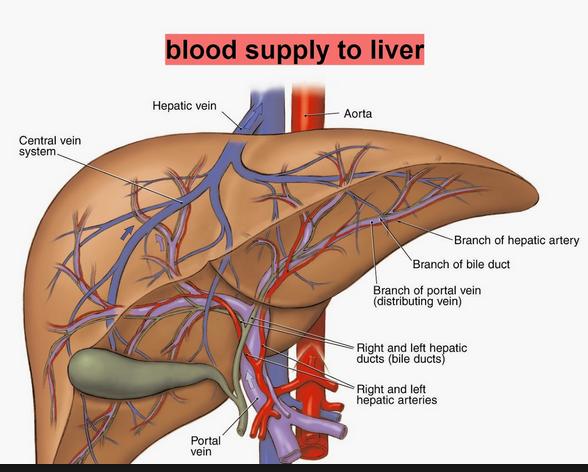 liver map   ferguson